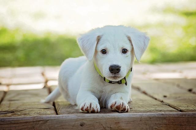 חיסונים לכלבים